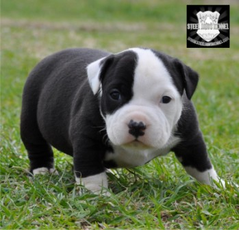 black bully puppy