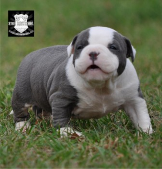 blue bully puppy