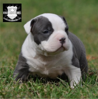 blue bully pitbull FOR SALE