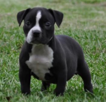 exotic bully puppy for sale