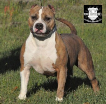 Bulldozer Puppies American Bully Breeders | Autos Post