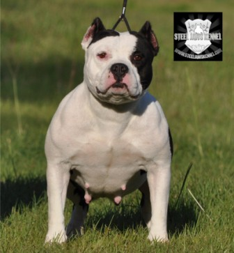 extreme exotic american bully pitbull